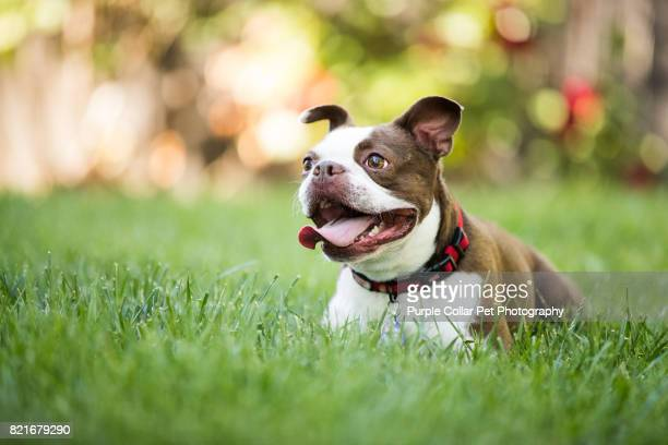 happy dog outdoors - boston terrier stock photos and pictures