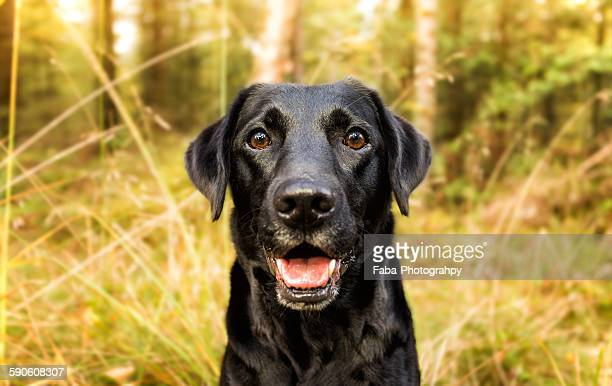 happy dog - black labrador stock pictures, royalty-free photos & images