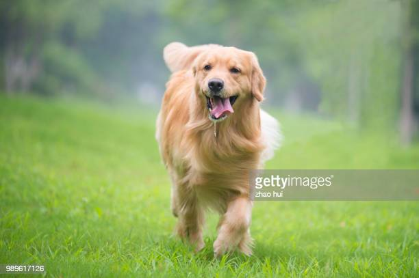 happy dog - golden retriever stock pictures, royalty-free photos & images