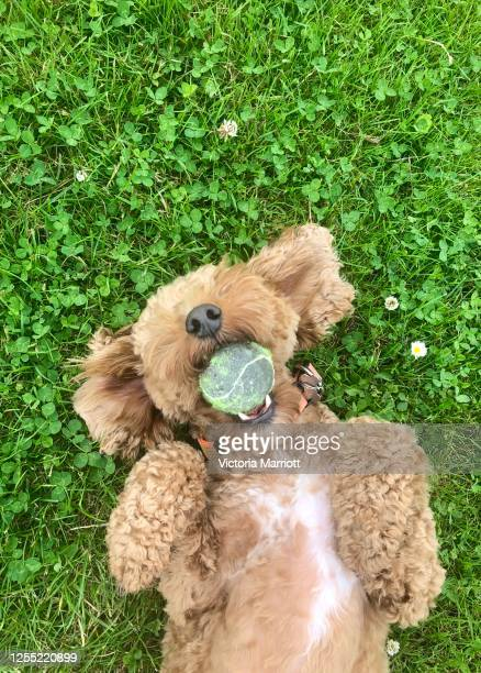 happy dog playing on the grass - toy stock pictures, royalty-free photos & images