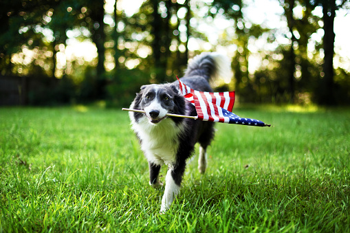 Happy dog playing outside and carrying the American flag 978652282