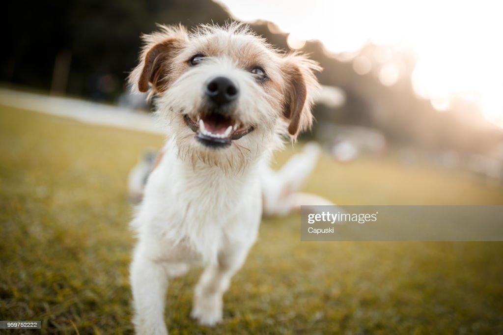 Glücklich Hund spielen : Stock-Foto