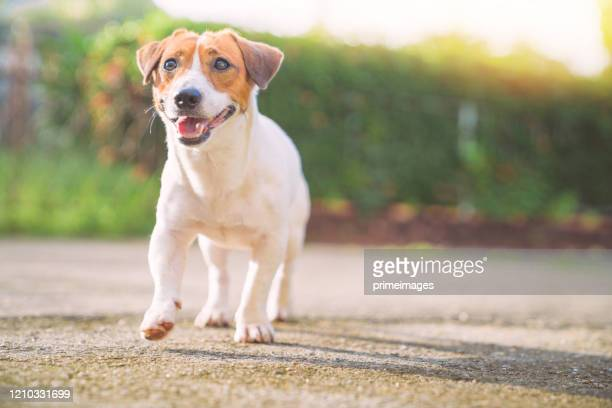 happy dog relax walking at the garden - jack russell terrier stock pictures, royalty-free photos & images