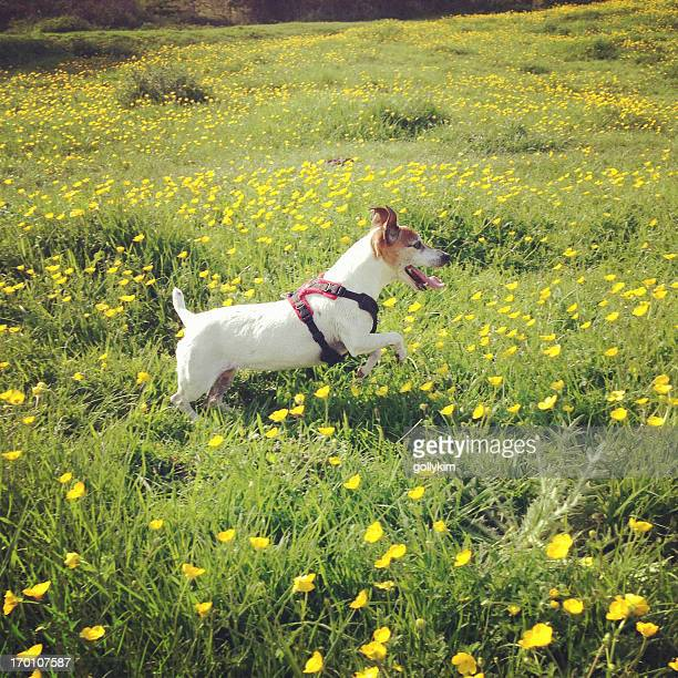 happy dog running in buttercup field - buttercup stock pictures, royalty-free photos & images