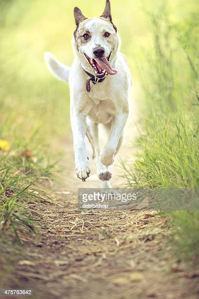 happy dog running on nature trail toward camera - australian cattle dog stock pictures, royalty-free photos & images