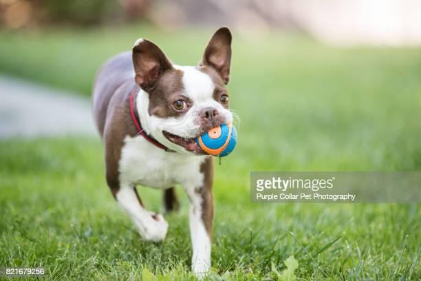 happy dog running with ball outdoors - イヌのおもちゃ ストックフォトと画像