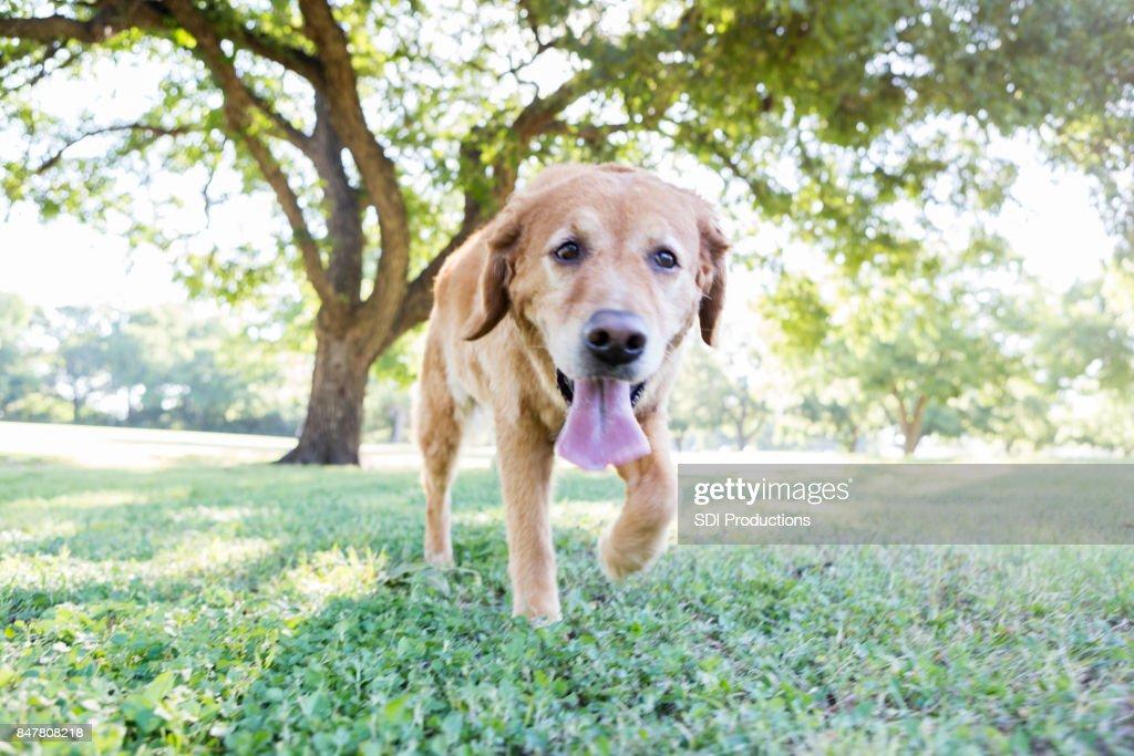 Perro feliz corre en el Parque : Foto de stock