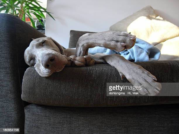 Happy dog sleeping on sofa in the afternoon