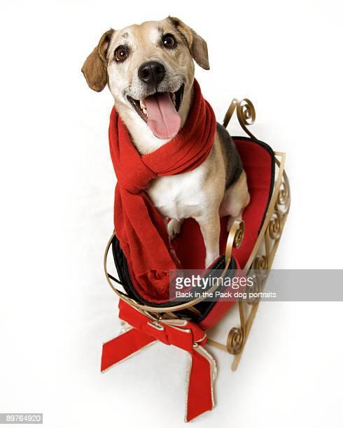 Happy dog smiling sitting on Christmas sled