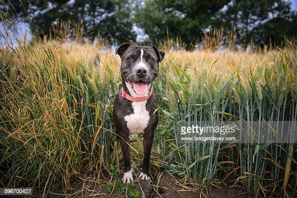 happy dog standing in a field - staffordshire bull terrier stock pictures, royalty-free photos & images