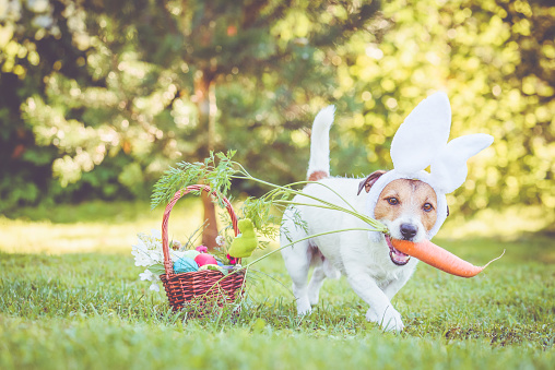 Happy dog wearing bunny ears for Easter party holding large carrot in mouth 1138228606