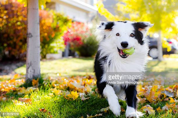 happy dog with tennis ball - border collie stock pictures, royalty-free photos & images