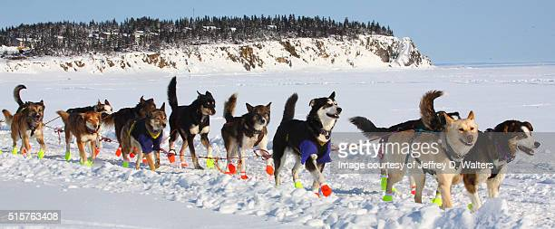 happy dogs in elim - bering sea stock pictures, royalty-free photos & images