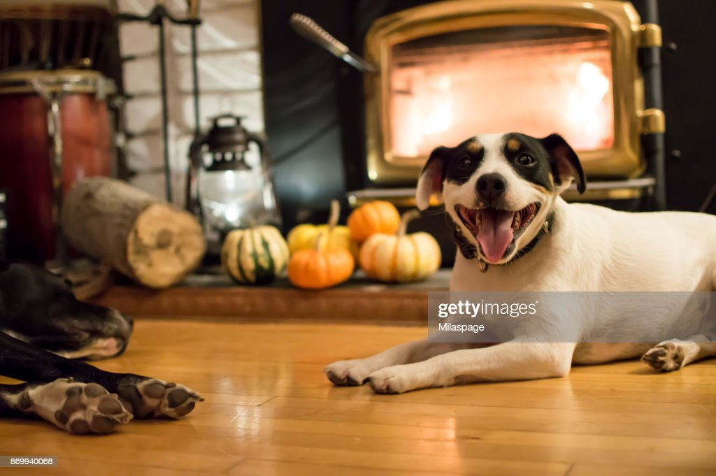 Happy Dogs near fireplace in autumn with Thanksgiving pumpkins in background : Stock Photo