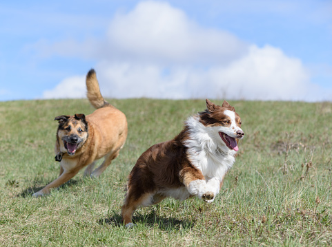 Happy dogs running freely with pretty clouds behind 680834554