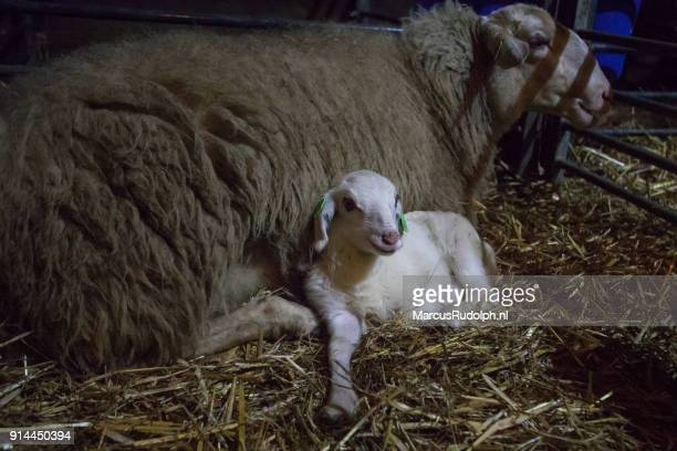 Happy ewe and lamb
