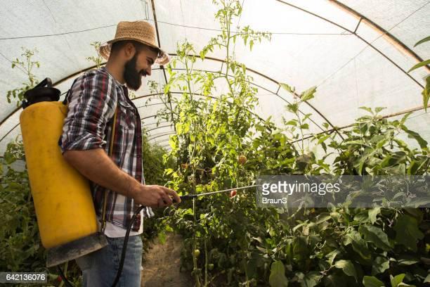Happy farm worker spraying tomatoes in polyethylene tunnel.