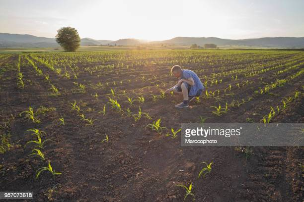 happy farmer inspecting plants at his field of growing corn at sunset - plantation stock pictures, royalty-free photos & images
