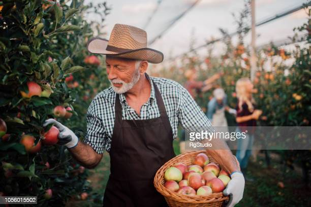 Happy farmer picking up apples