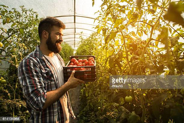 Happy farmer with basket of tomatoes in polyethylene tunnel.