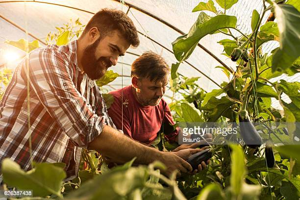Happy father and son picking eggplants in their greenhouse.