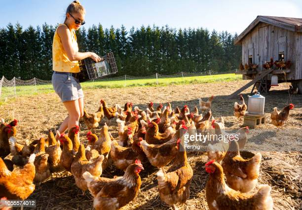 a happy female farmer feeding vegetable scraps to organic chickens on an organic farm. - hen stock pictures, royalty-free photos & images