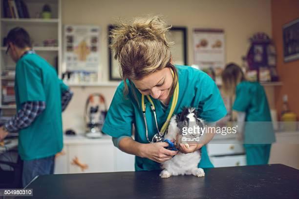 Happy female vet using nail clipper on a rabbit.