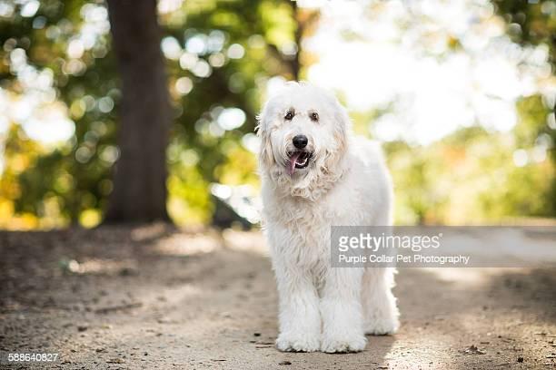 Happy fluffy white dog outdoors