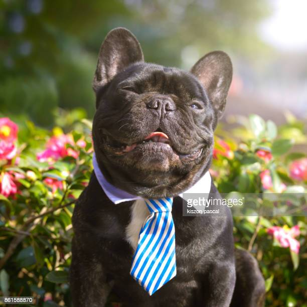 Happy French Bulldog smiling in a Park