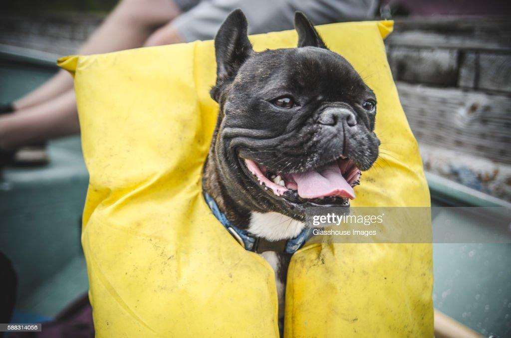 Happy French Bulldog Wearing Life Jacket : Stock Photo
