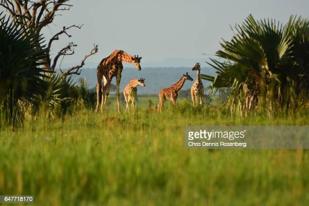 A Happy Giraffe Family.