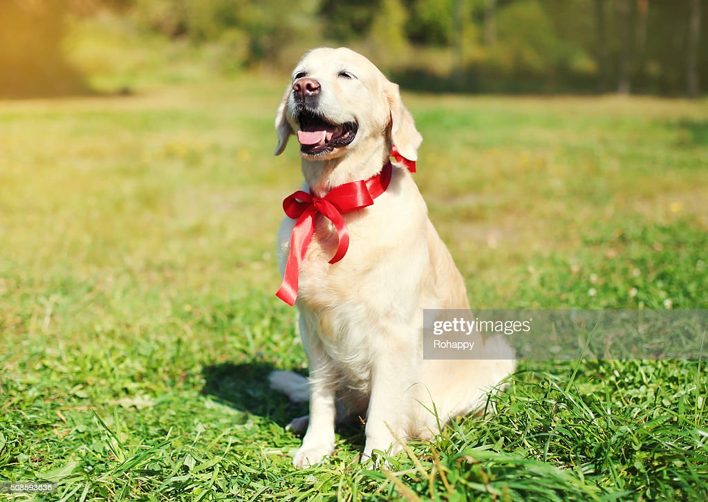 Happy Golden Retriever dog with red bow sitting on grass : Stock Photo