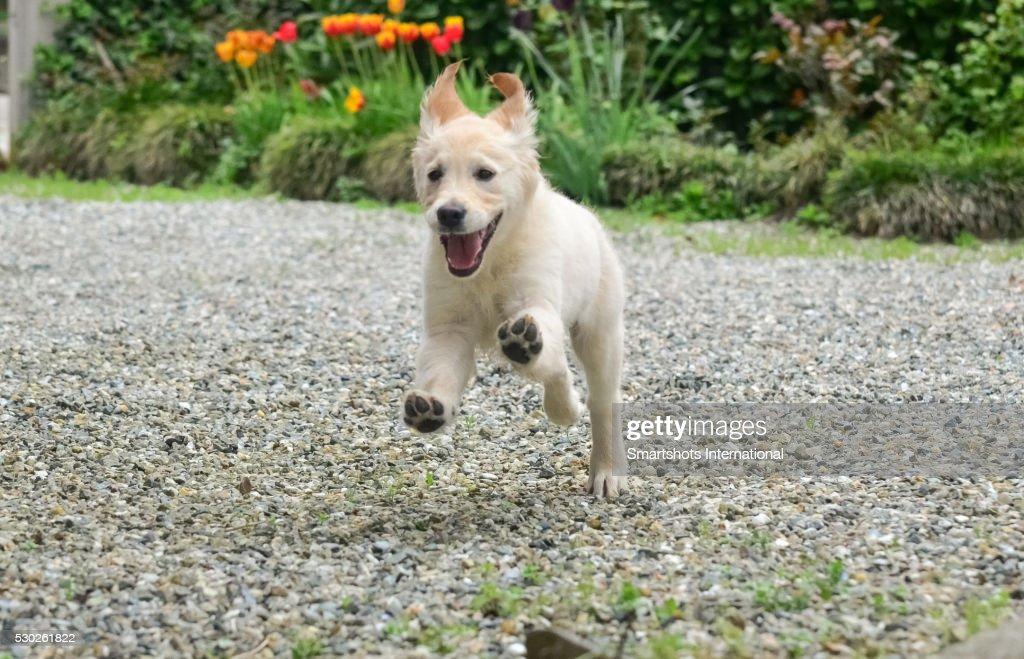 Happy Golden Retriever Puppy Running On Back Yard Stock Photo