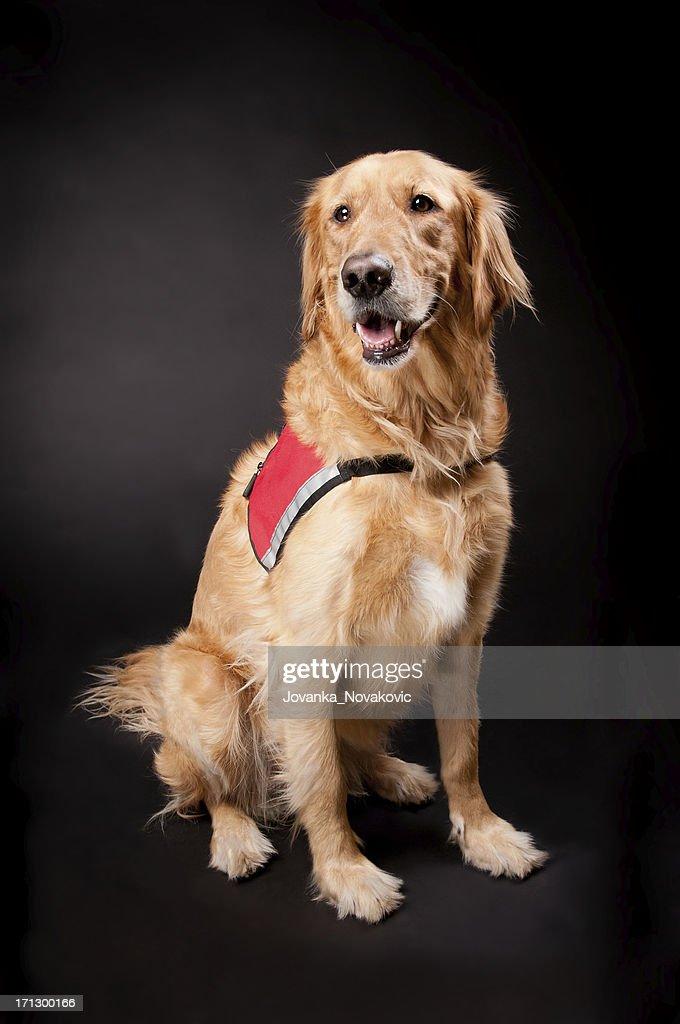 Happy Golden Retriever Rescue Dog : Stock Photo