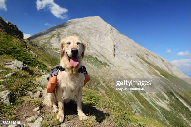 Happy golden retriever with backpack in a mountain