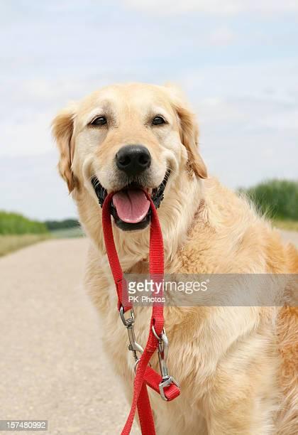 Feliz Golden Retriever com Coleira de Cachorro