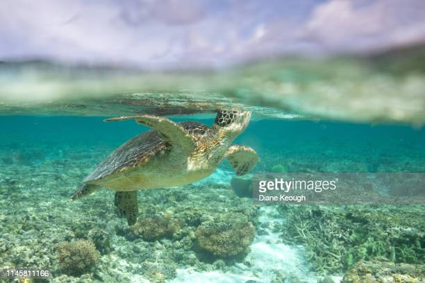 happy green sea turtle in this split shot taking a breath of fresh area. - green turtle stock photos and pictures