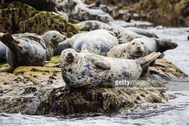 Happy grey seals, Farne Islands