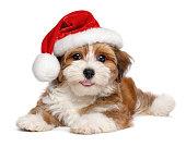 Happy Havanese puppy is wearing a Santa hat