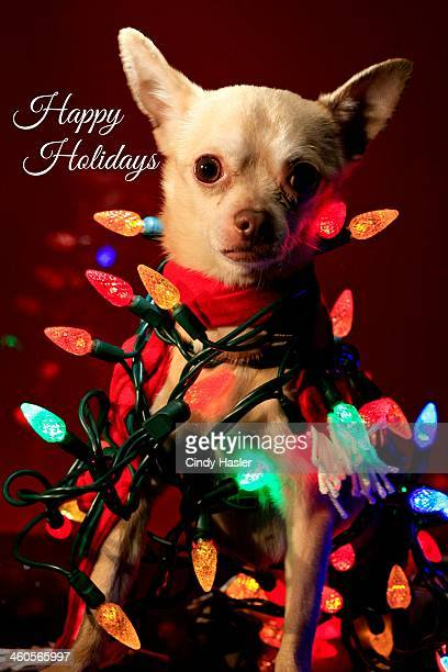 happy holidays chihuahua - happy holidays stock photos and pictures