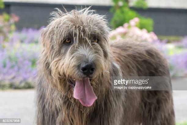 happy irish wolfhound - irischer wolfshund stock-fotos und bilder