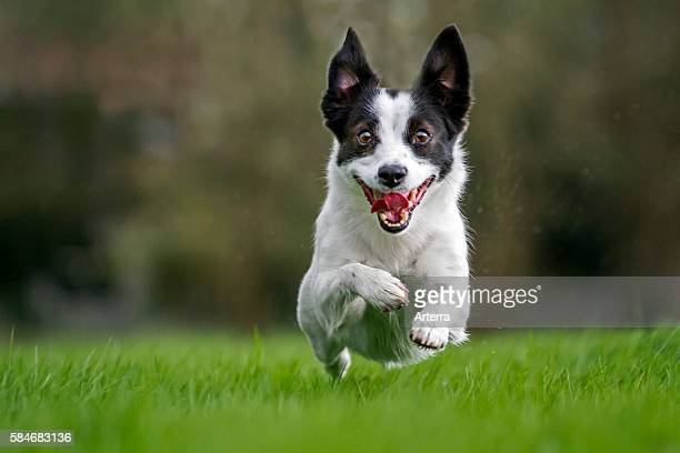 Happy Jack Russell terrier dog running in garden