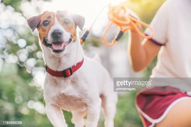 happy joyful and playful jack russell dog relaxing and resting on gress garden at the park outdoors and outside on summer vacation holidays - jack russell terrier stock pictures, royalty-free photos & images