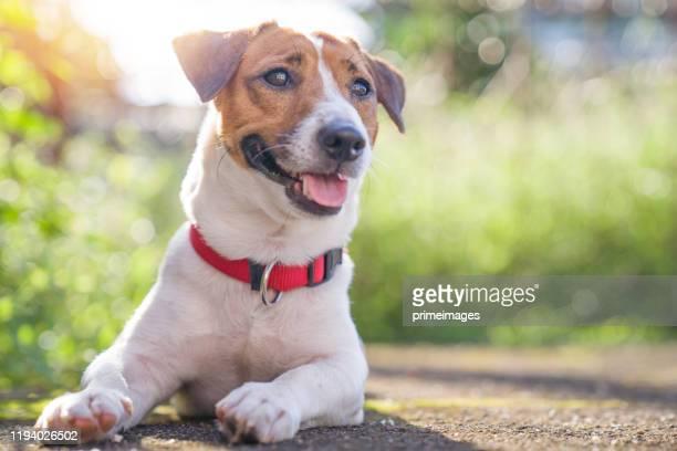 夏休みの休日に公園の屋外と外のグレスガーデンでリラックスして休む幸せな喜びと遊び心のあるジャックラッセル犬 - ビーグル ストックフォトと画像
