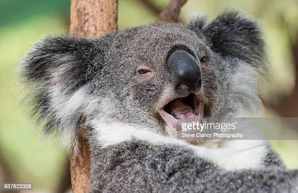 happy koala - koala stock photos and pictures