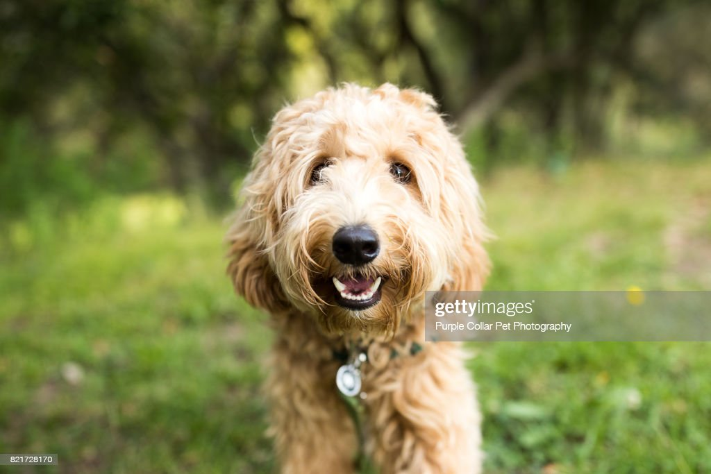 Happy Labradoodle Dog Outdoors : Stock Photo