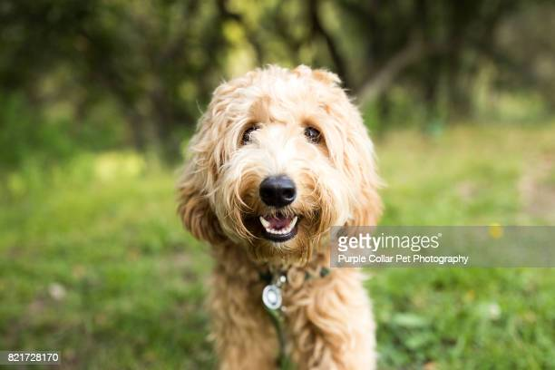 happy labradoodle dog outdoors - dog stock pictures, royalty-free photos & images