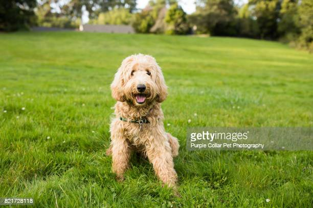 happy labradoodle dog sitting on grass outdoors - labradoodle stock photos and pictures