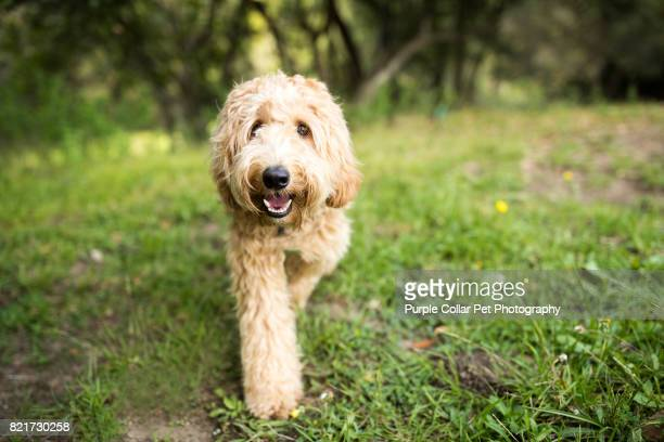 happy labradoodle dog walking outdoors - labradoodle stock photos and pictures