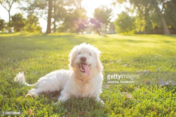 happy labrador mix dog - labradoodle stock photos and pictures